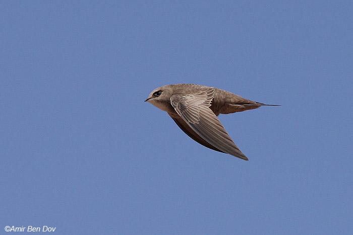 סיס חוורוור(חיוור) Pallid Swift Apus pallidus                                     גרופית,הערבה,אפריל 2009.צלם: אמיר בן דב