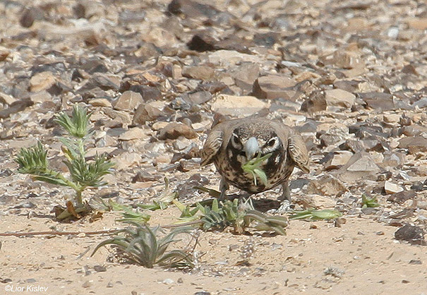 עפרוני עב מקור Thick-billed Lark  Ramphocoris clotbey                 המישר,דרום הנגב.אפריל 2008