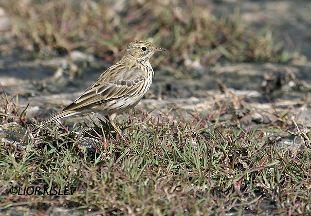 פיפיון שדות Anthus pratensis   Meadow Pipit                            ביוב  בהד1      הר הנגב אפריל 2006