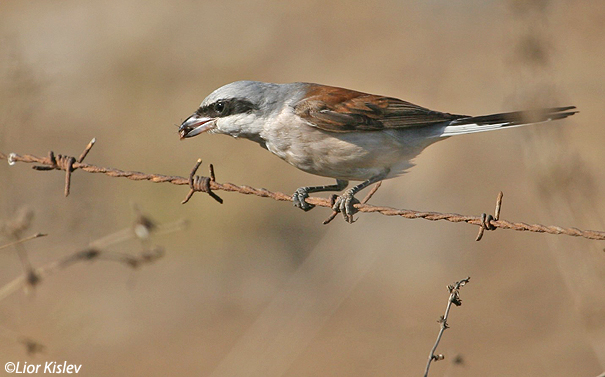 חנקן אדום גב  Red-backed Shrike Lanius collurio                                           רמות, ספטמבר 2005