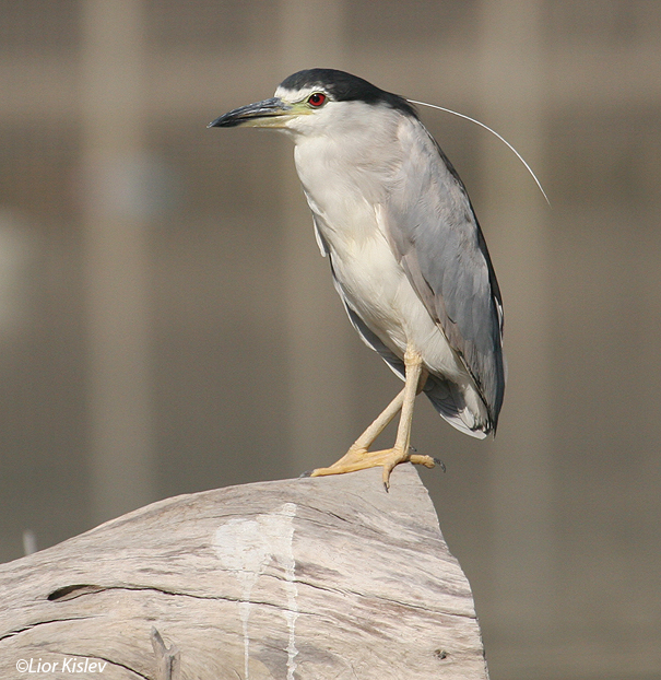אנפת לילה  Black-crowned Night-Heron                                    Nycticorax nycticorax ,הירדן יוני 2006.