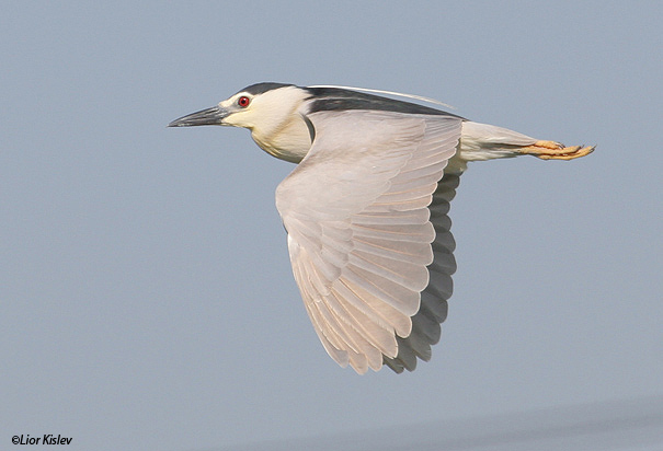 אנפת לילה  Black-crowned Night-Heron                                    Nycticorax nycticorax מעגן מיכאל,יוני 2006.