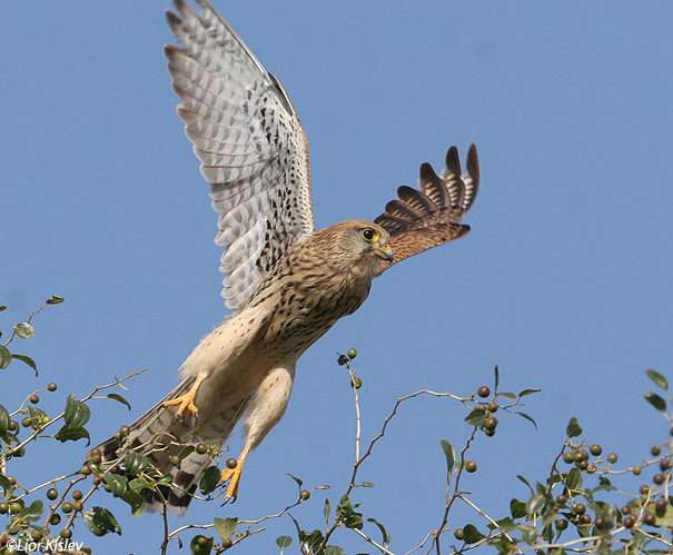 בז מצוי Common Kestrel Falco  Tinnunculus                                 עמק בית שאן ינואר 2007
