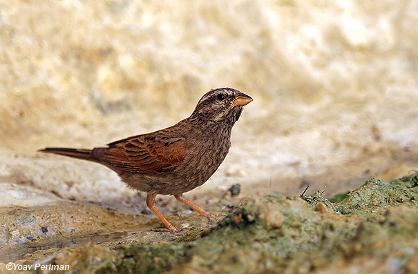 גבתון מדבר  Mountain Bunting Emberiza striolata                                    עין סלבדורה,יולי 2007.