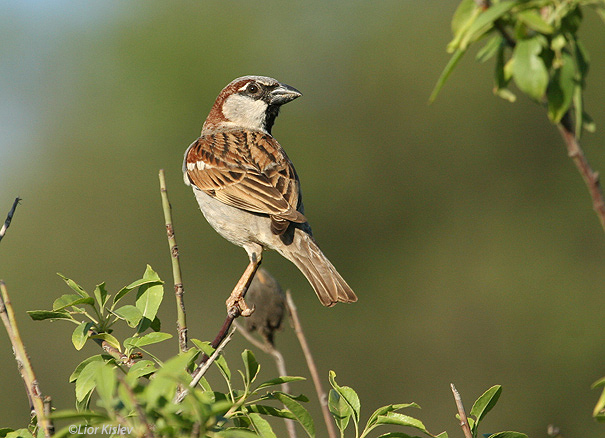 דרור בית  House Sparrow  Passer domesticus                                   רמות רמת הגולן יולי 2006