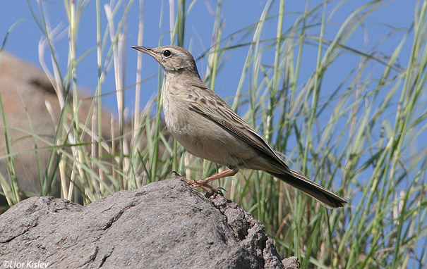 פיפיון  הרים  Long-billed Pipit  Anthus similis                           נחל סמק, דרום  רמת הגולן אפריל 2007