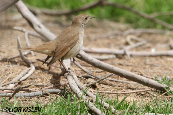 זמיר הירדן Common  Nightingale Luscinia megarhynchos             ביוב בהד 1 מרץ 2006