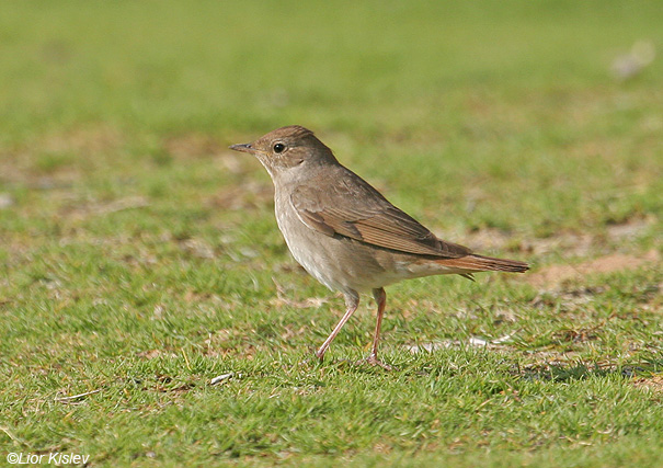 זמיר מנומר Thrush Nightingale  Luscinia luscinia                           קטורה,הערבה,אפריל 2008.