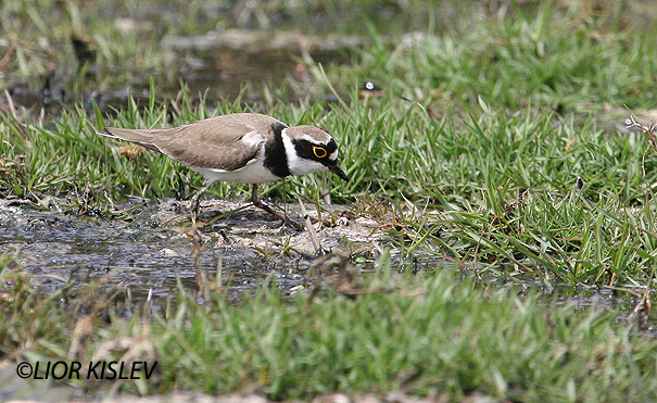 חופמי גדות Little Ringed Plover  Charadrius dubius                                     ביוב בהד1,הר הנגב, אפריל 2006