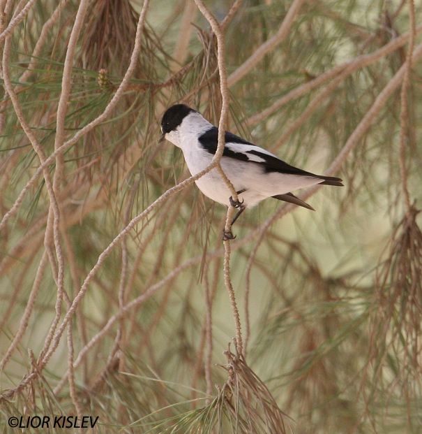 חטפית לבנת עורף Collared Flycatcher  Ficedula albicollis                                    מצפה רמון אפריל 2006