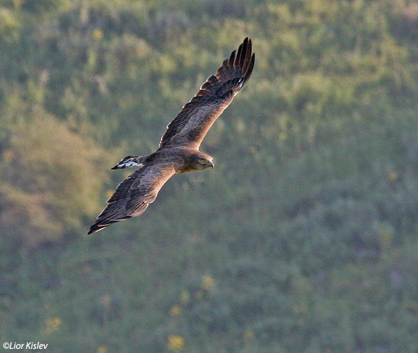 חיוויאי הנחשים Short Toed Eagle  Circaetus gallicus                                   נחל סמק, רמת הגולן ,אפריל 2007.