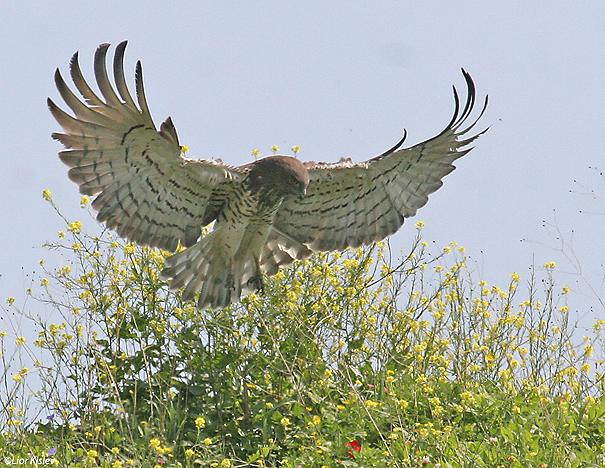 חיוויאי הנחשים Short Toed Eagle  Circaetus gallicus                      נחל כנף רמת הגולן מרץ 2007