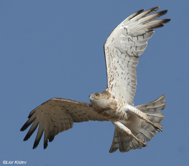 חיוויאי הנחשים Short Toed Eagle  Circaetus gallicus                              אגמון החולה ספטמבר 2007