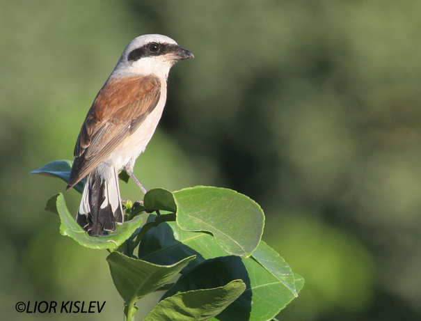 חנקן אדום גב  Red-backed Shrike Lanius collurio                                           רמות ספטמבר 2006
