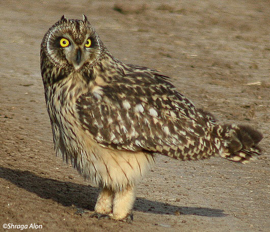 ינשוף שדות   Short-eared Owl Asio flammeus                                        עין צורים,שפלת יהודה,אפריל 2007