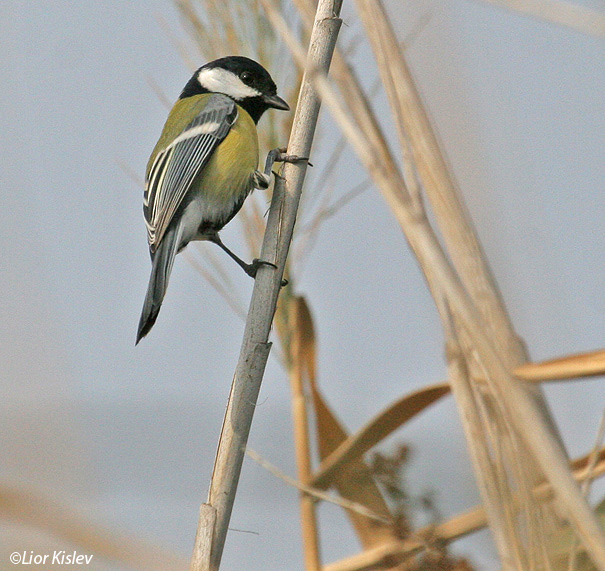 ירגזי  מצוי   Great Tit  Parus major                                                           הבטיחה, נובמבר 2006