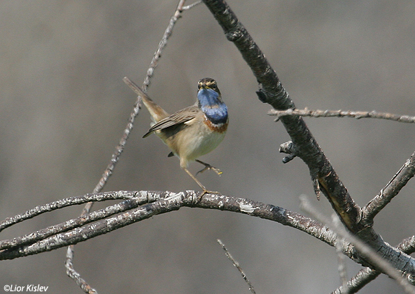 כחול החזה Bluethroat  Luscinia svecica                                            הבטיחה,מרץ 2007.