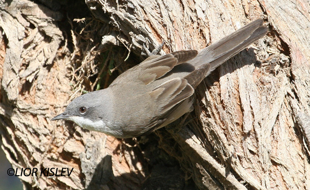 סבכי טוחנים   Lesser Whitethroat    Sylvia curruca                                                       הר הנגב מרץ 2006