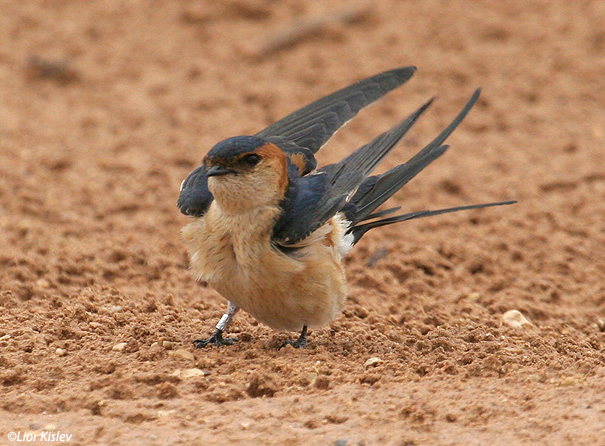 סנונית מערות  Red-rumped Swallow Hirundo daurica                        אילת אפריל 2007