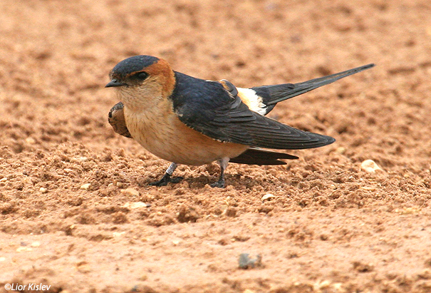 סנונית מערות  Red-rumped Swallow Hirundo daurica                                אילת ,אפריל 2007