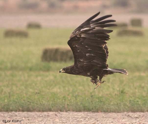 עיט צפרדעים  Greater Spotted Eagle   Aquila clanga                מעוז חיים,עמק בית שאן ,נובמבר 2007