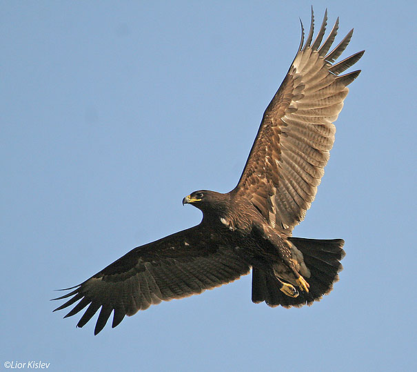 עיט צפרדעים  Greater Spotted Eagle   Aquila clanga              טירת צבי,עמק בית שאן ,דצמבר 2006