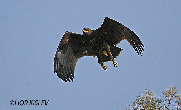 עיט צפרדעים  Greater Spotted Eagle   Aquila clanga                טירת צבי אוקטובר 2006