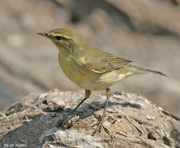 עלווית  אפורה  Willow Warbler  Phylloscopus trochilus                    ביוב רמות,הבטיחה,ספטמבר 2007.