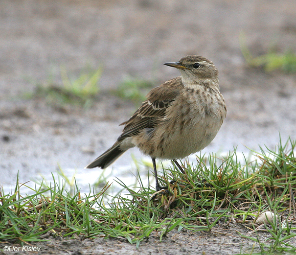 פיפיון מים Water Pipit Anthus spinoletta                                                 כפר רופין,נובמבר 2007.
