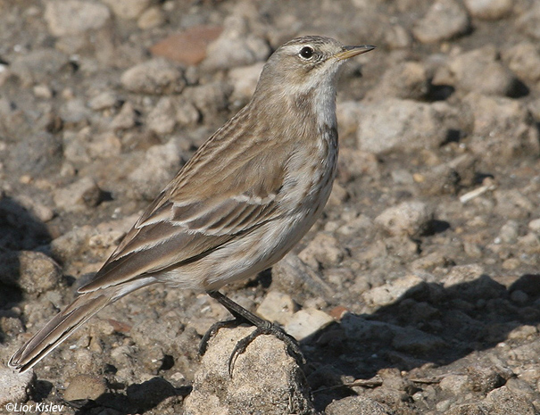 פיפיון מים Water Pipit Anthus spinoletta                                                  מעגן מיכאל נובמבר 2005