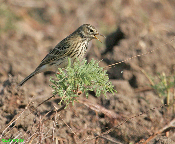 פיפיון שדות Anthus pratensis   Meadow Pipit                      הבטיחה,נובמבר 2007.
