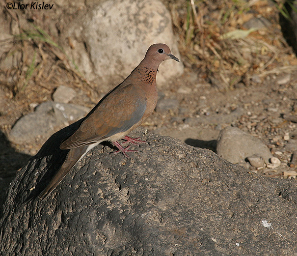 צוצלת Laughing Dove Streptopelia senegalensis                                              רמות יולי 2006.