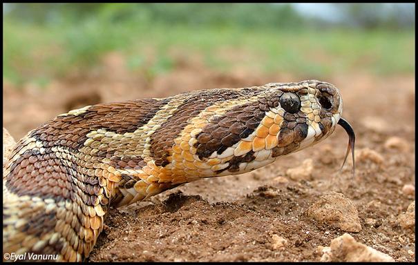 Palestinian Viper