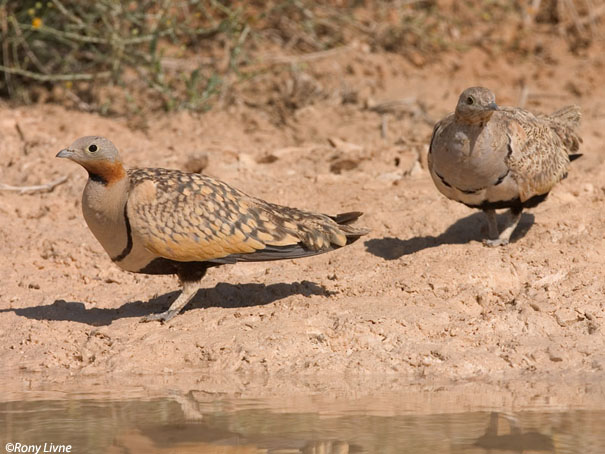 קטה גדולה Black-bellied Sandgrouse Pterocles orientalis