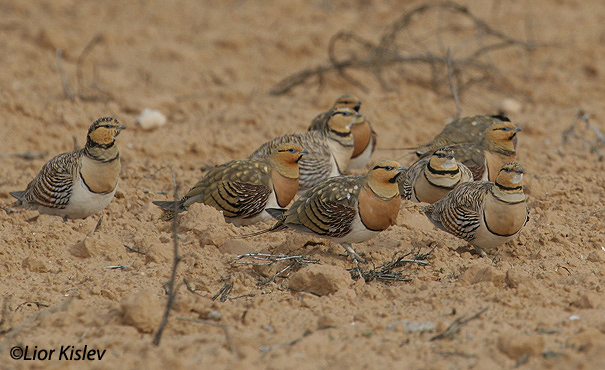 קטה חדת זנבpin tailed sandgrouse pterocles alchta                                           רביבים מרץ 2006