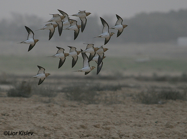 קטה חדת זנבpin tailed sandgrouse pterocles alchta                                           רביבים, מרץ 2006
