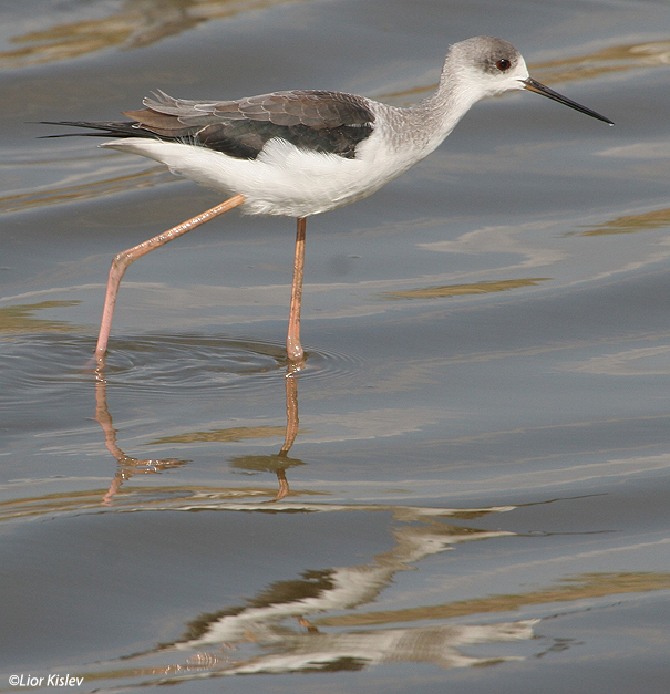תמירון black winged stilt  himantopus himantopus                           נחשולים,נובמבר 2005.