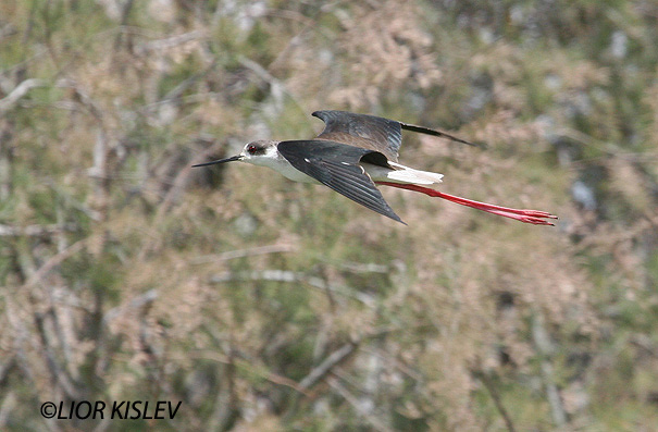 תמירון black winged stilt  himantopus himantopus                                    נחשולים נובמבר 2005