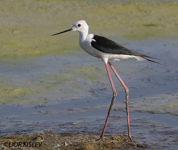 תמירון black winged stilt  himantopus himantopus                                              מעגן מיכאל ,יוני 2006