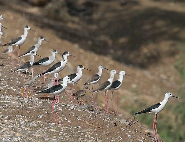 תמירון black winged stilt  himantopus himantopus                              הירדן,פברואר 2007.