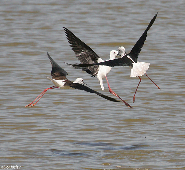 תמירון black winged stilt  himantopus himantopus                  טירת צבי ,עמק בית שאן,מרץ 2007