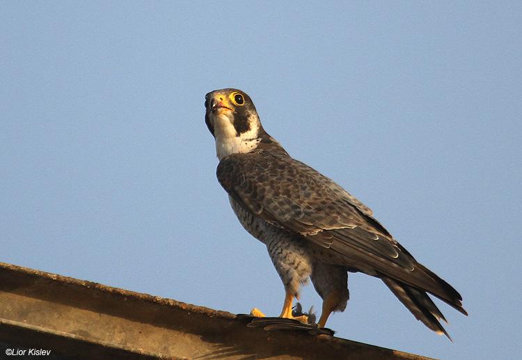 Peregrine Falcon Falco peregrinus ,Beit Shean valley,November 2010,Lior Kislev