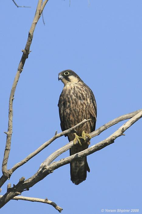 בז חופים Eleonora's Falcon  Falco eleonorae                 שפלת יהודה, אוקטובר 2008,צלם:יורם שפירר