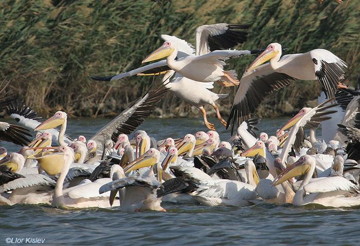שקנאי מצוי  White Pelican  Pelecanus onocrotalus                     מעגן מיכאל,אוקטובר 2005,צלם:ליאור כסלו