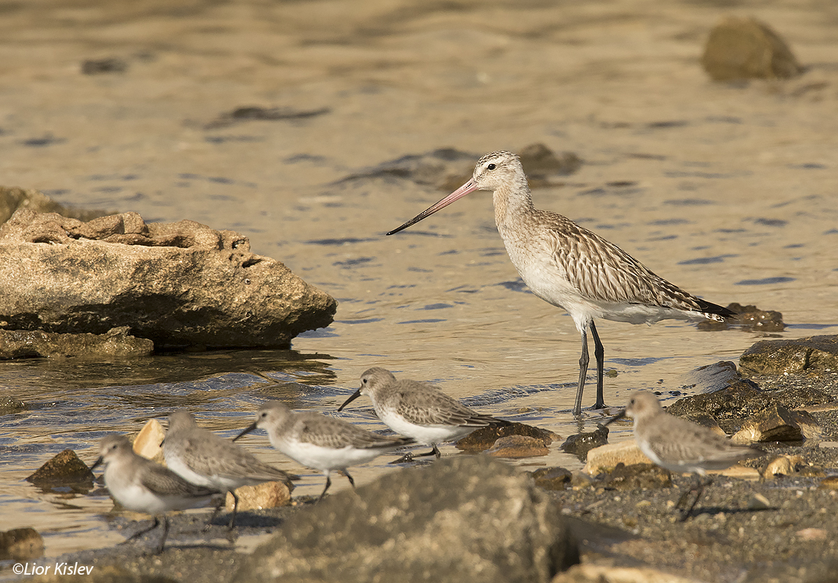 Bar-tailed Godwit   Limosa lapponica  ,Acre,November 2016  , Lior Kislev