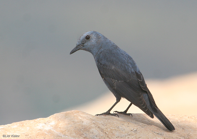Blue Rock-Thrush Monticola solitarius  ,mt Arbel,february 2009. Lior Kislev