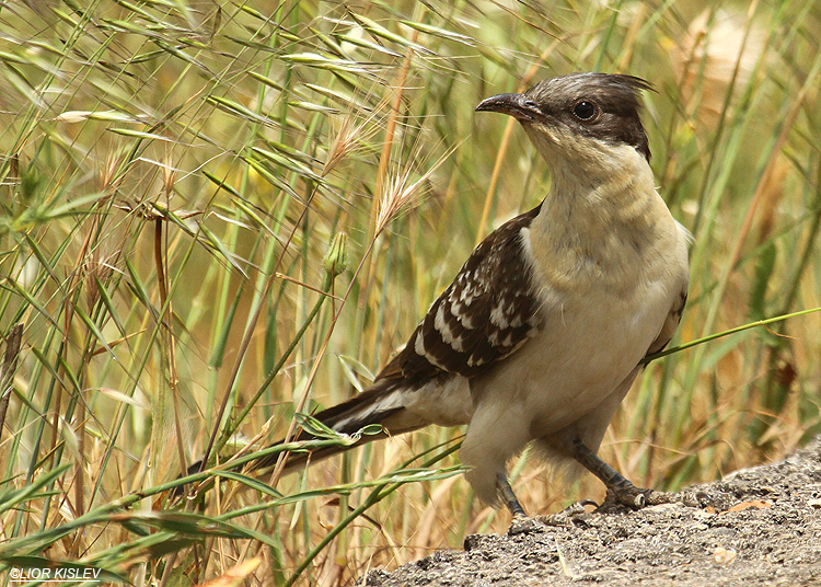 Great Spotted Cuckoo Clamator glandarius  ,    Valley of Tears (Bacha Valley), Golan Heights 28-04-10 Lior Kislev,