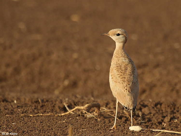 Cream-coloured Courser Cursorius cursor                                   Sothern Golan,Israel,May 2010.Lior Kislev