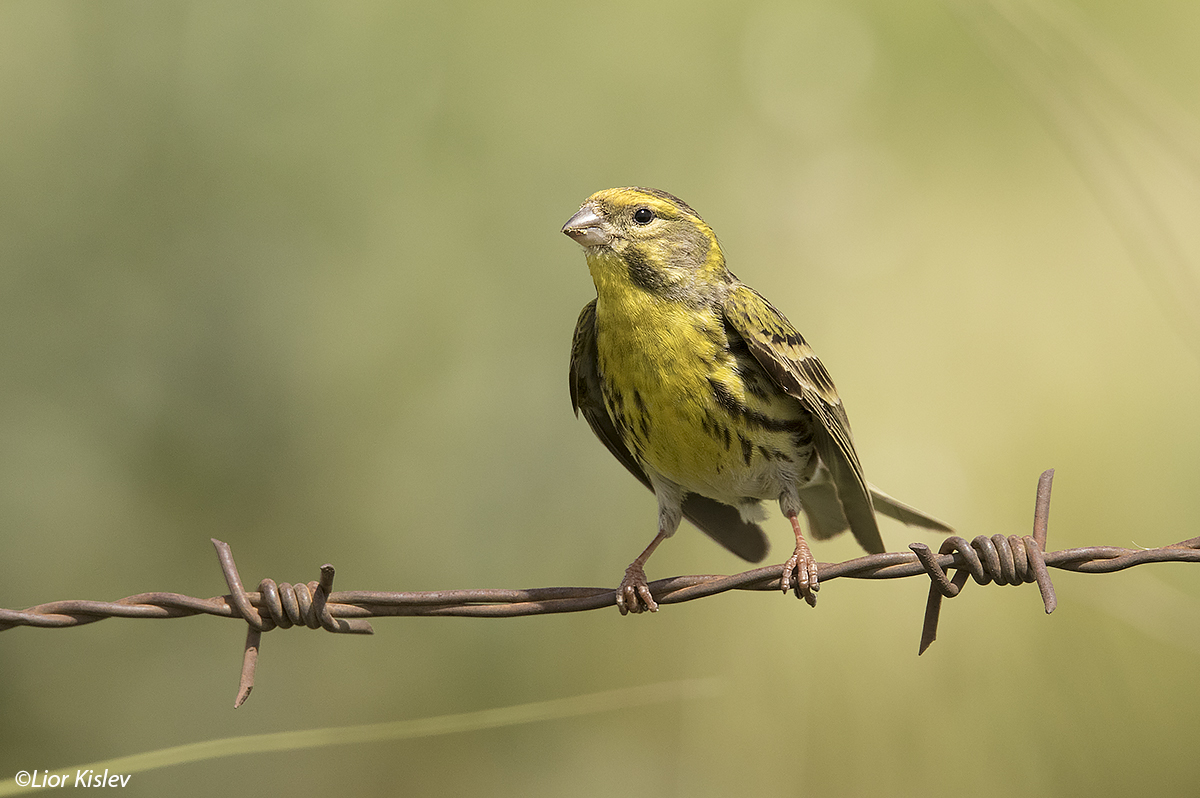 European Serin Serinus serinus   Golan heights April  2016 Lior Kislev