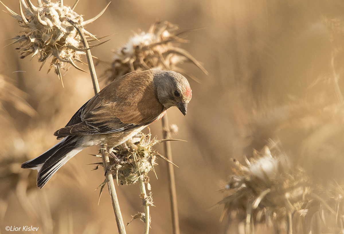.Common Linnet Carduelis cannabina ,Golan heughts,june 2016.,Lior Kislev